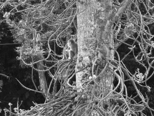 ~cannonball monkeys~ image copyright Kris Lee 2012