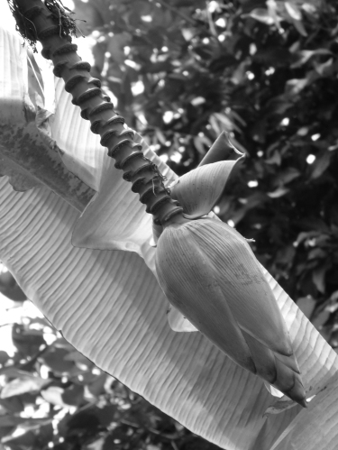~banana flower~ image copyright Kris lee 2012